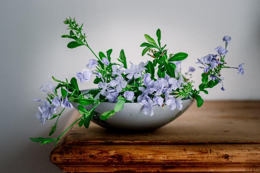 plumbago - fiori stilllife